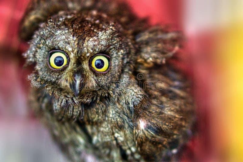 Scary owl face stock image image of beak attentive - Scary yellow eyes ...