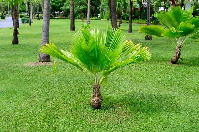 Small palm tree in garden.  stock images