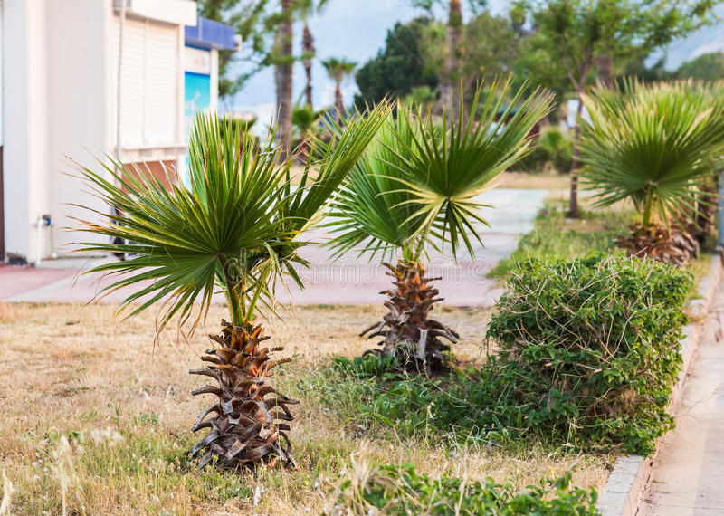 Small palm tree. In the village of Turkey royalty free stock photos