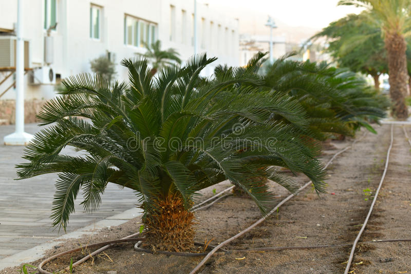 Small palms in a street of Eilat. Palms with irrigation system in Eilat, Israel royalty free stock photos