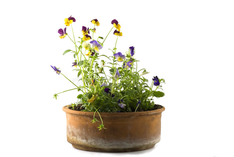 Download Small Pansy stock image. Image of green, garden, bloom - 4913411