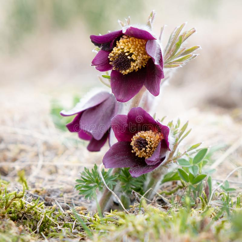 Small Pasque flower - Pulsatilla pratensis subsp. bohemica - naturally growing beautiful spring flower, critically endangered. Species stock photography