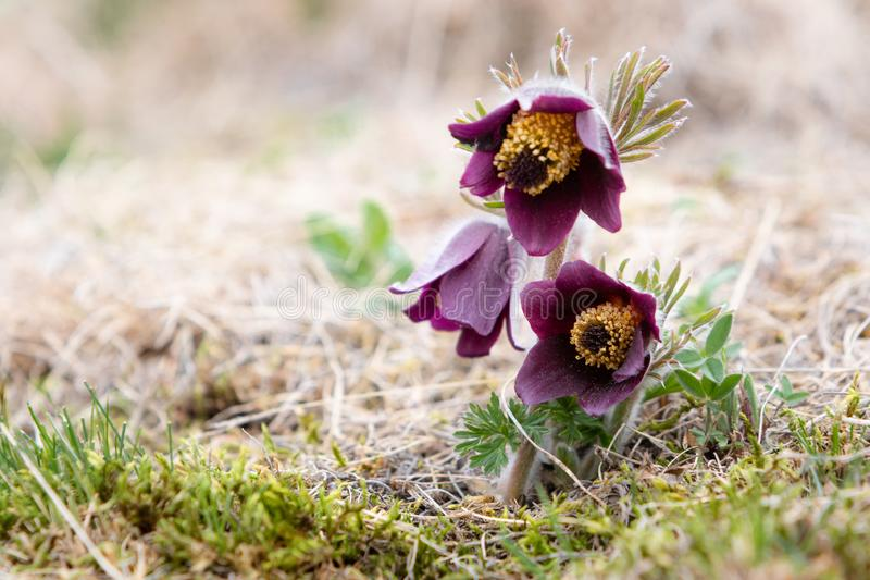 Small Pasque flower - Pulsatilla pratensis subsp. bohemica - naturally growing beautiful spring flower, critically endangered. Species stock photos