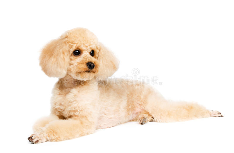Small peach-colored poodle lying and looks aside privately. royalty free stock photo