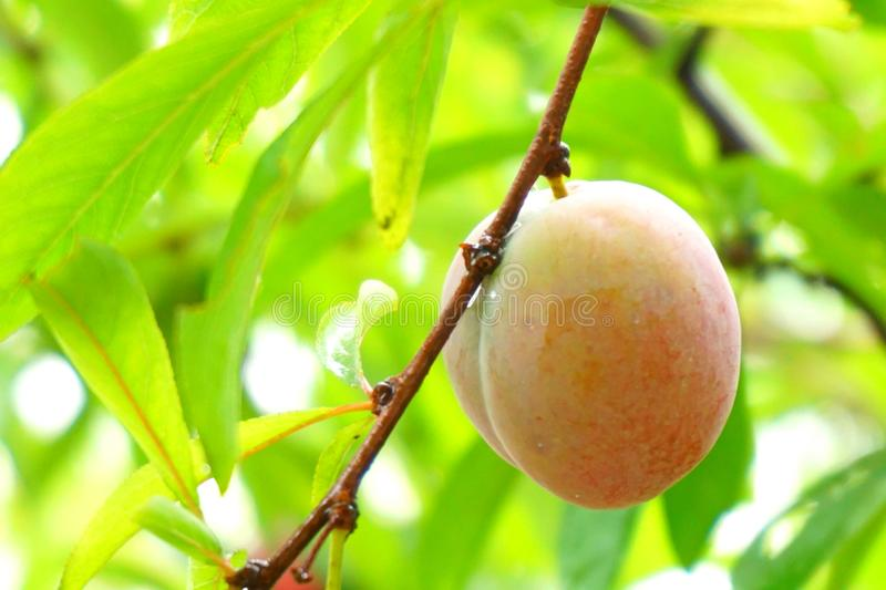 A small peach on the tree. In the image, there is a small peach on the tree royalty free stock photography