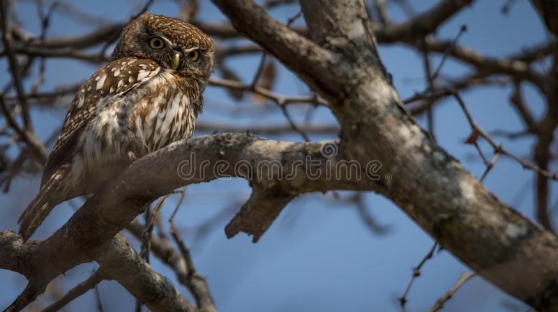 Pearl_spotted_owl stock images