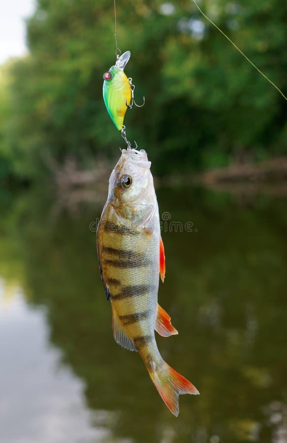 Small perch caught on a crank bait. Small perch caught on plastic crank bait stock photo
