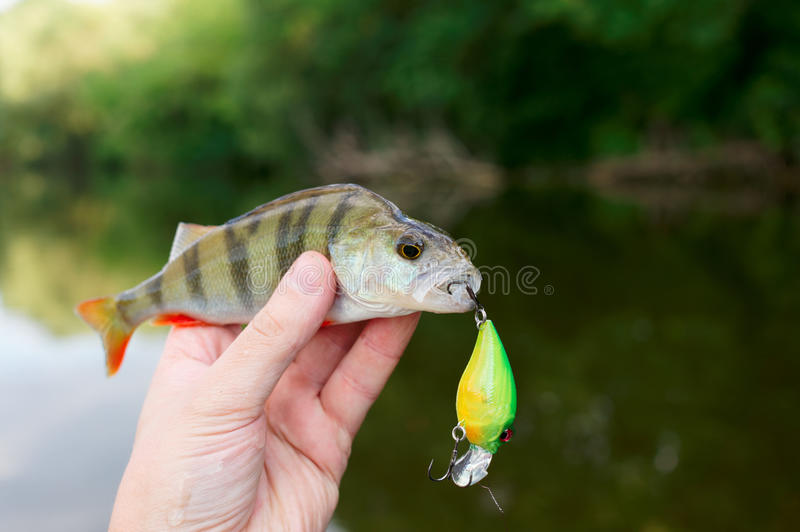 Small perch caught on a plastic bait. Small perch caught on a plastic casting bait stock photography