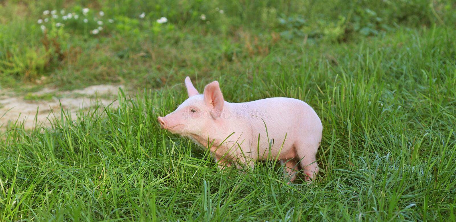 Small pig. On a grass royalty free stock image