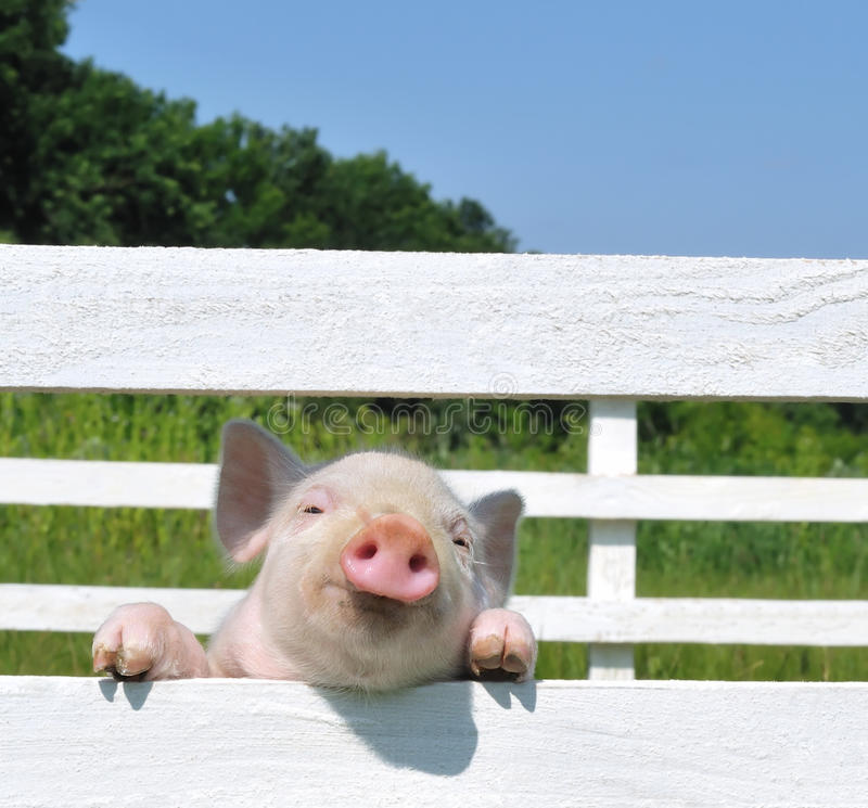 Download Small Pig Stock Photography - Image: 17527672
