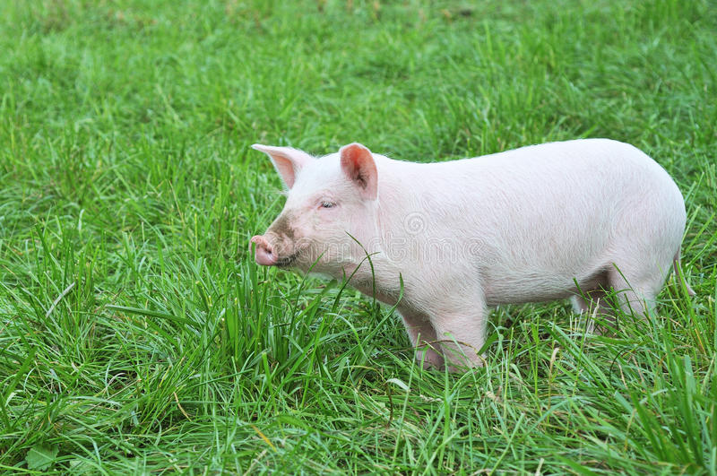Small pig. One small pig on a green grass stock images