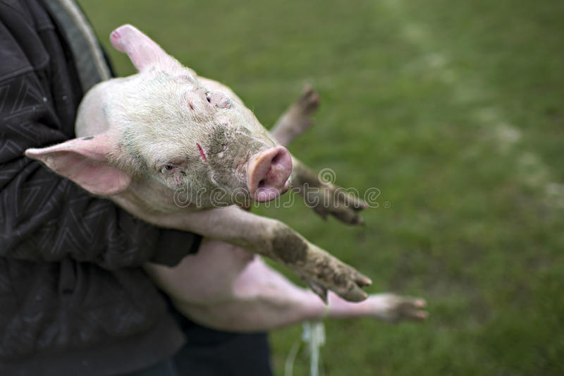 Small pig prepared for slaughter. A farmer carries little pig to slaughter it royalty free stock images