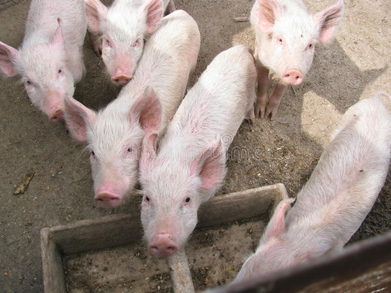 Small piglets stock photos