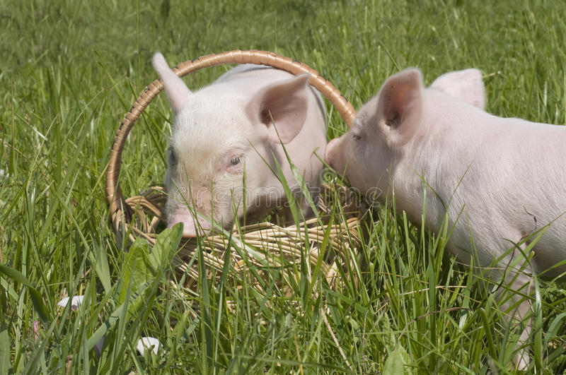 Download Small pigs stock photo. Image of meadow, rural, outdoors - 10407772