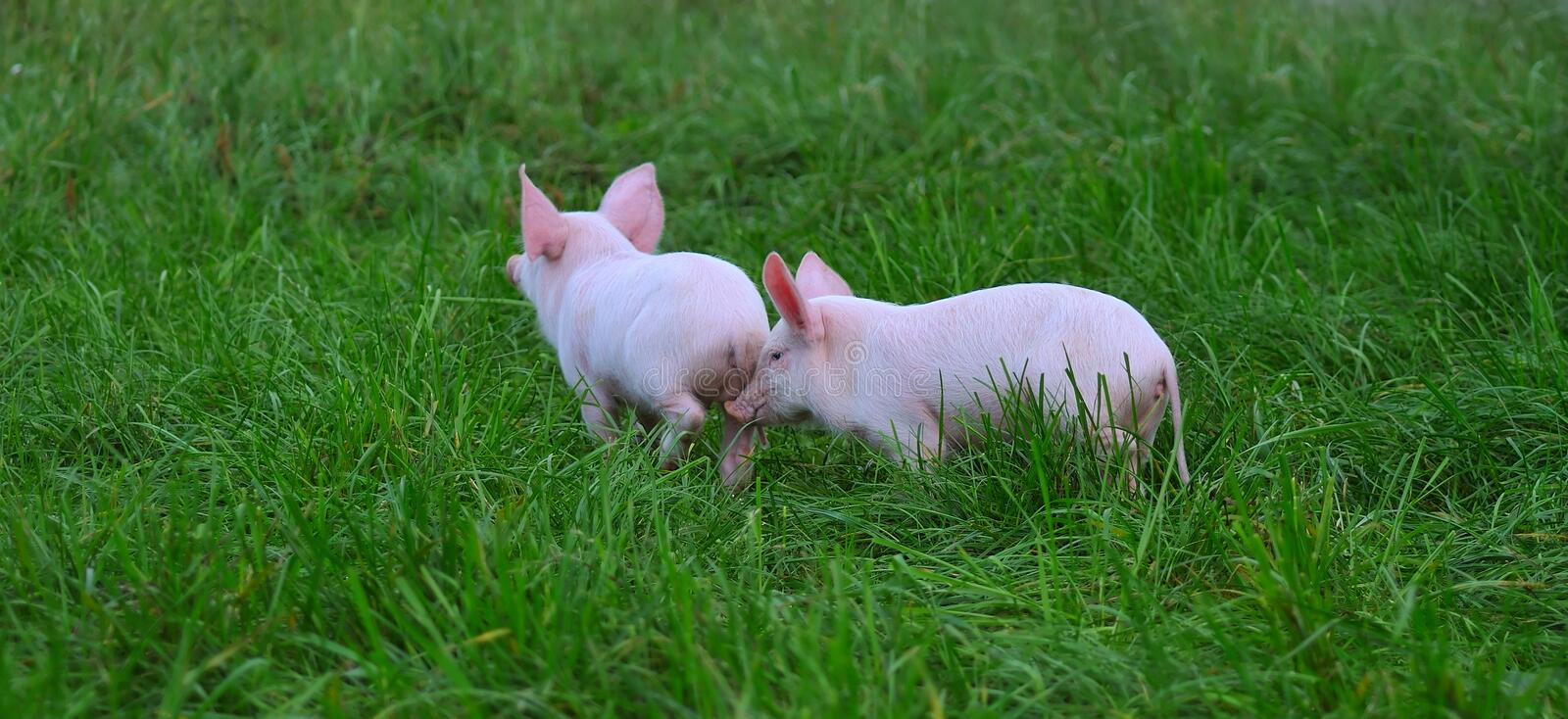 Small pigs. On a grass stock images
