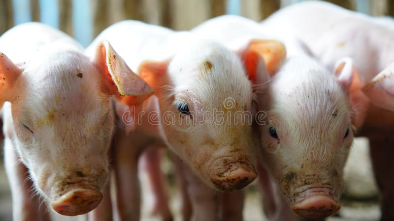 Small pigs in the farm stock images