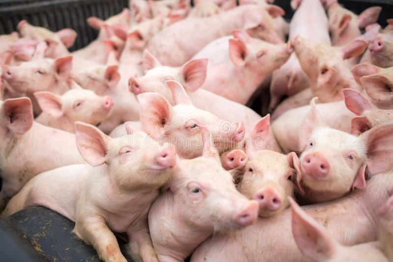 Small pigs at the farm stock image