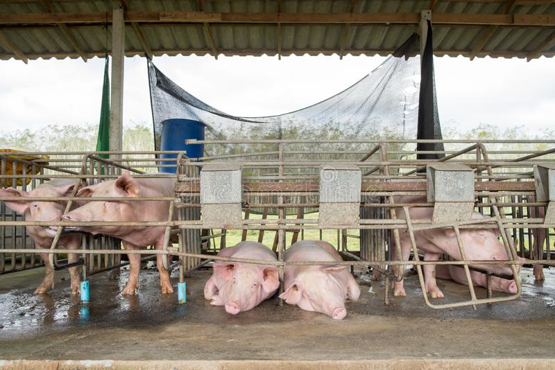 Pigs at the farm. stock image
