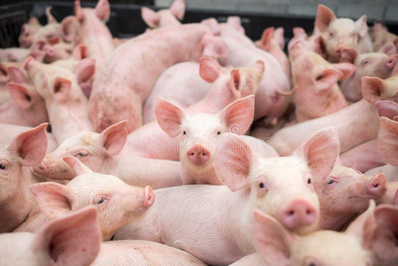 Small pigs at the farm,swine in the stall. Meat industry. stock photos