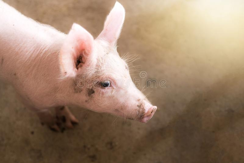 Small pigs at the farm,swine in the stall. royalty free stock photography