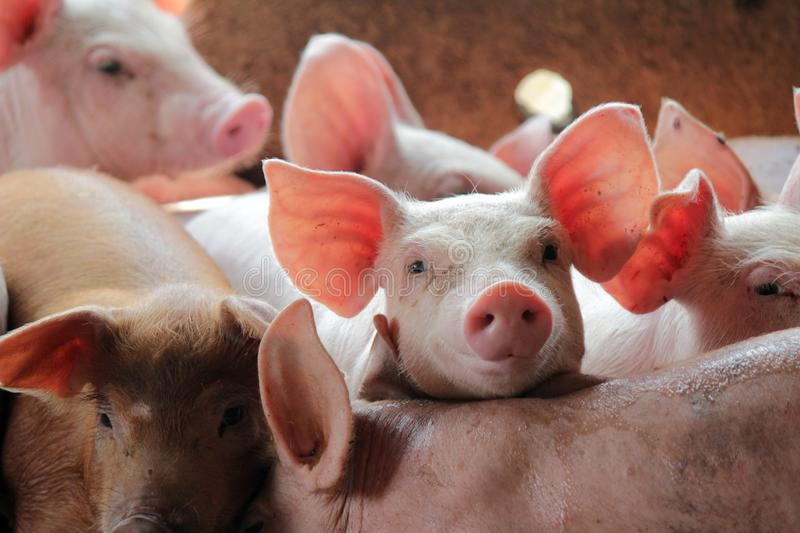 Small pigs in the stable. Are eating and growing. To send to the slaughterhouse. Is a pork industry To be human stock photos