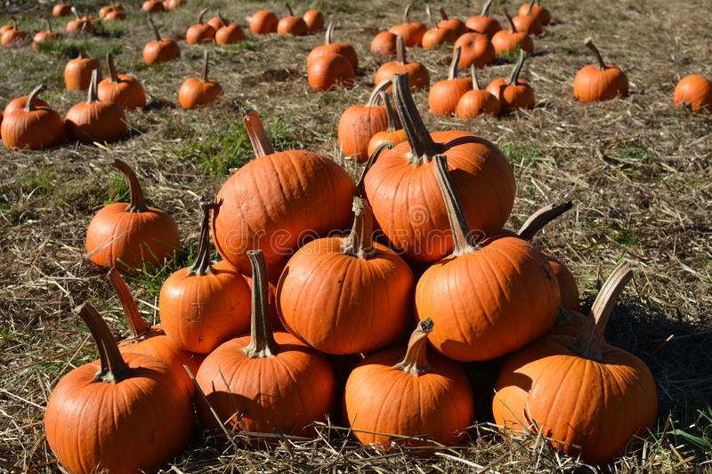 A small pile of pumpkins on a farm east of Salem, Oregon. This is a small pile of pumpkins on a farm east of Salem, Oregon royalty free stock photo