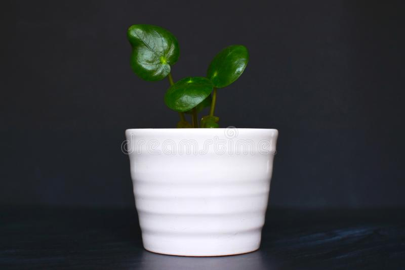 Small pilea peperomioides chinese money or UFO plant cutting in white in front of dark background royalty free stock images