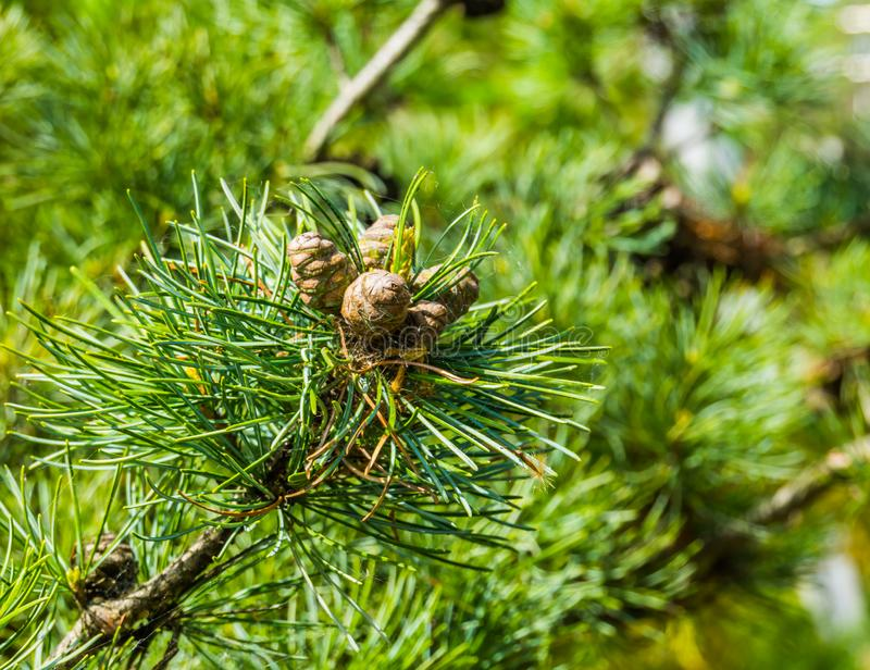Small pine cones growing on a conifer tree branch, evergreen forest background royalty free stock image