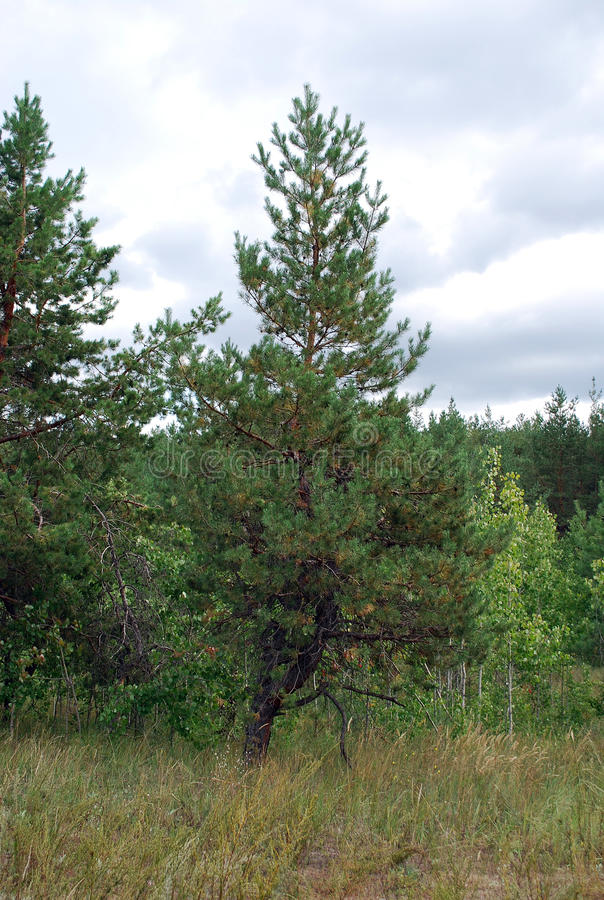 Small pine on the fringe of the forest. Summer landscape royalty free stock image
