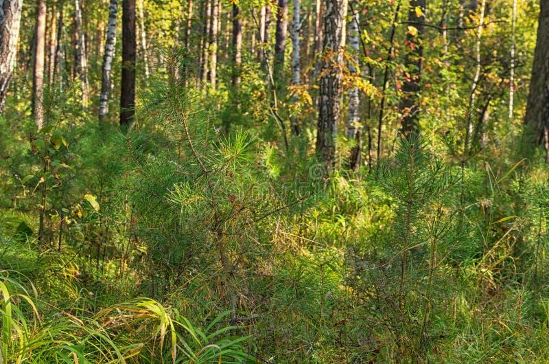 small pine stock photos