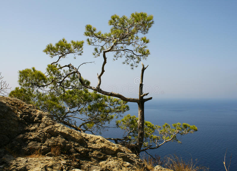 Small pine tree. A small pine tree on the Olkhon Island in Lake Baikal stock image