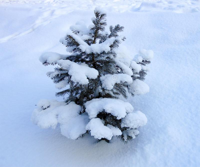 Small pine tree against snow field. Winter landscape stock photos