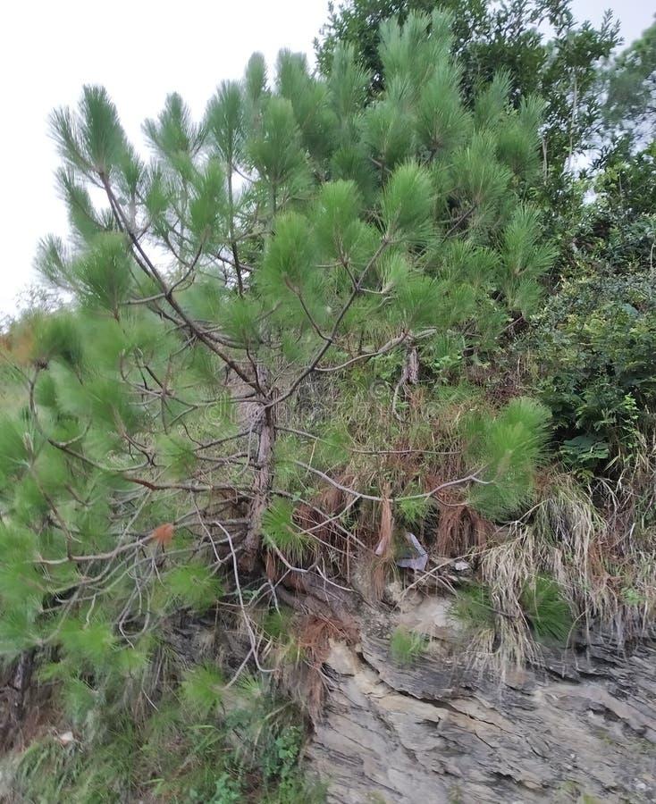 SMALL Pine tree  beautiful look India. Natural small pine tree beautiful look rural hill area uttarakhand india royalty free stock photos