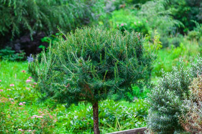 A small pine tree with a bush on top in the shape of a ball filled with green needles in the park among a large number of. Flowering plants. The naturalness and royalty free stock image