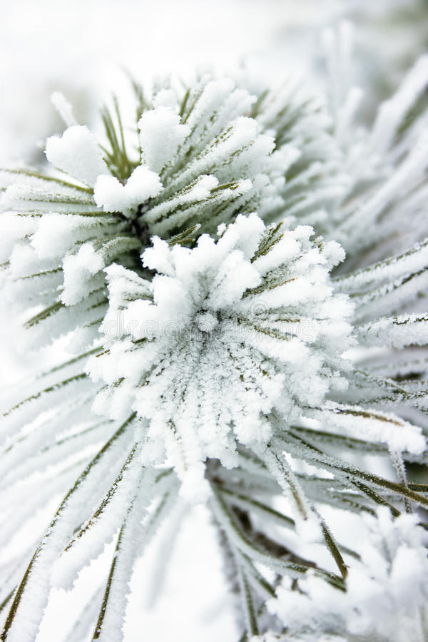 Small pine tree covered with snow. Snow flower royalty free stock photography