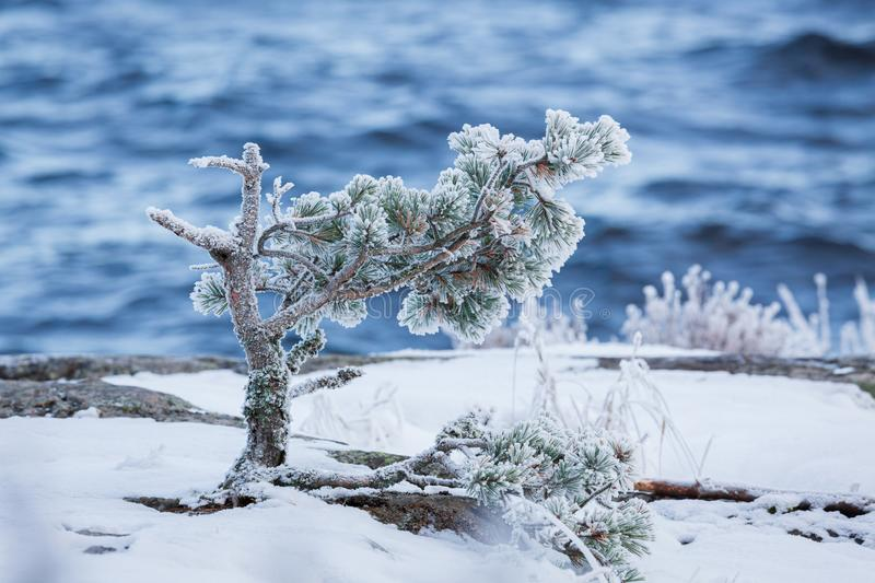 Small pine tree frozen in lake shore at cold winter morning royalty free stock photo