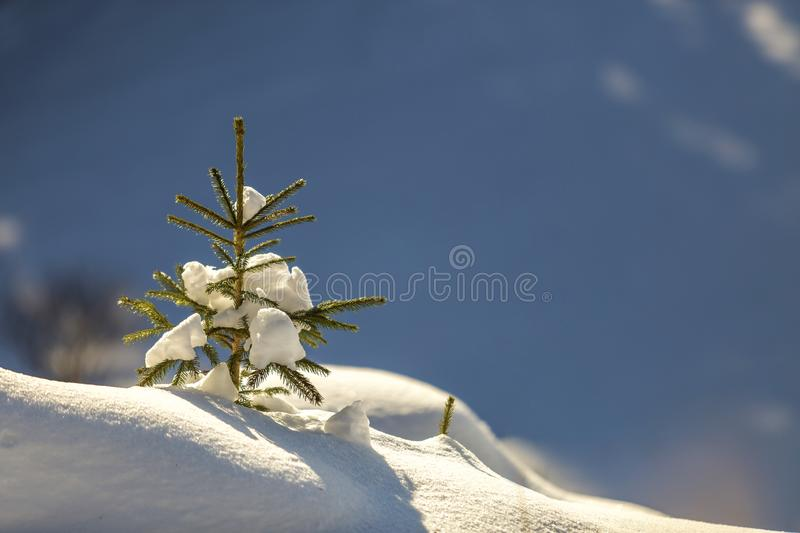 Small pine tree with green needles covered with deep fresh clean snow on blurred blue copy space background. Merry Christmas and. Happy New Year greeting stock photography