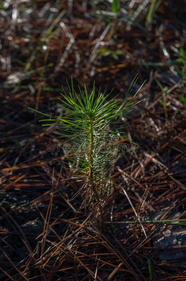 Small pine tree grown in the forest. Artwork done elaborately, landscape and nature, great images for printing, advertising, travel magazines and more. Photo royalty free stock photos
