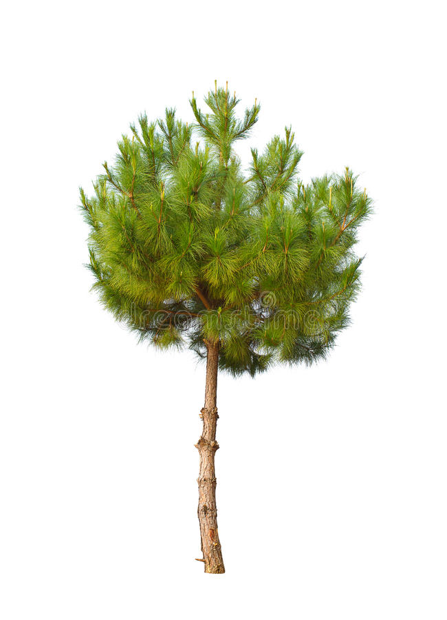 Small pine tree isolated stock image