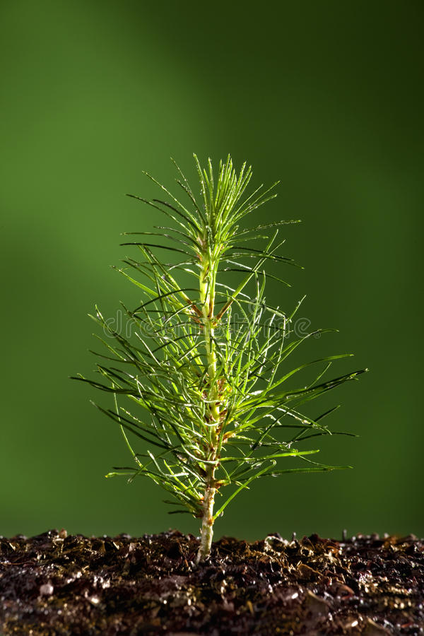 Small pine tree plant. With mist stock images