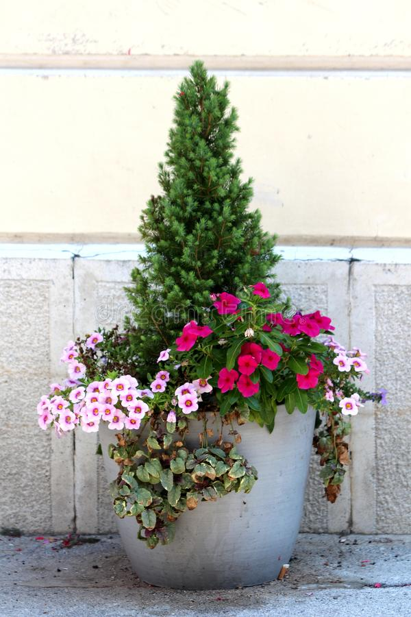 Small pine tree planted in concrete flower pot surrounded with Petunia flowers and crawler plants in front of family house wall stock photos
