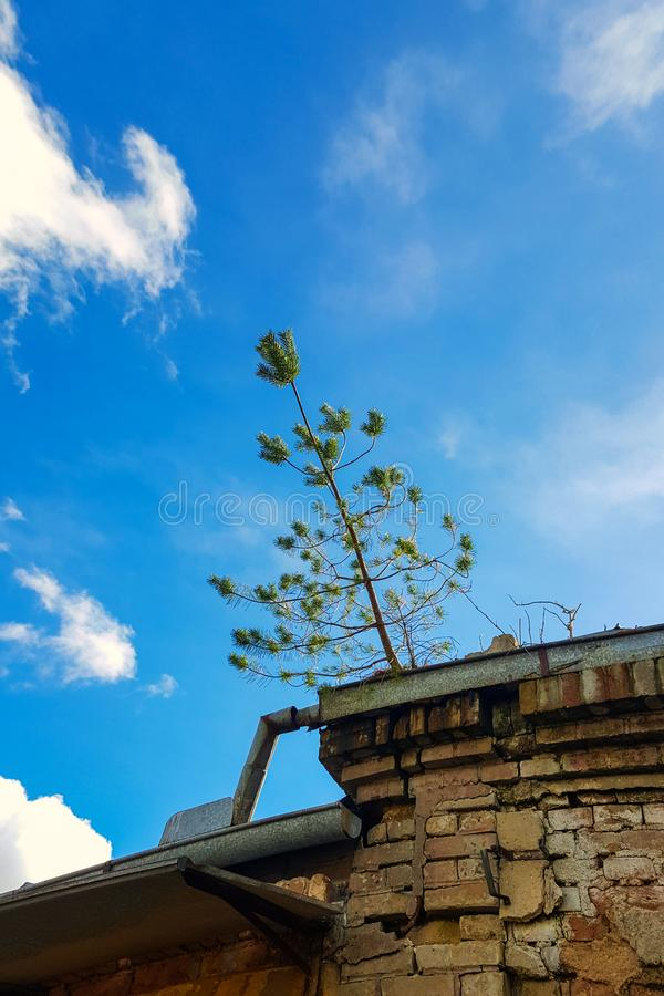 Small pine tree on the roof. Small pine tree growing on the roof of an abanoned building stock photography