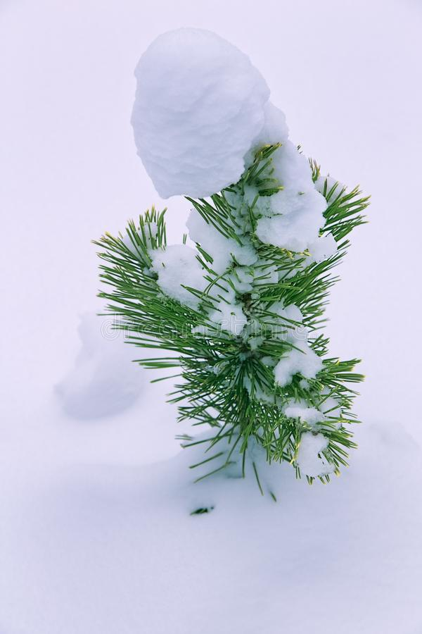 Small pine tree in winter garden. royalty free stock images