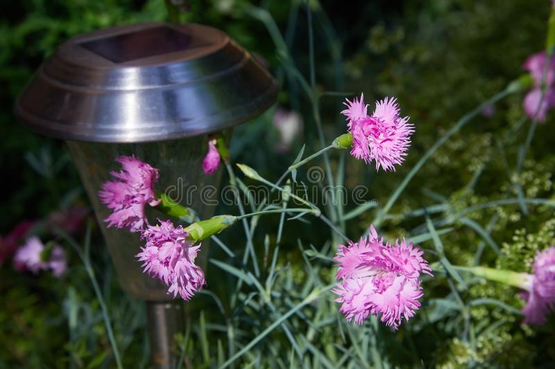 Small pink carnations tuft in green leaves. Unpretentious garden plant, botanical name Dianthus caryophyllus, other names clove pink, gillyflower stock images