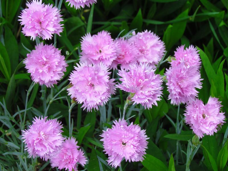 Small pink carnations tuft in green leaves, unpretentious garden plant, botanical name Dianthus caryophyllus, other. Names clove pink, gillyflower, detail of stock image