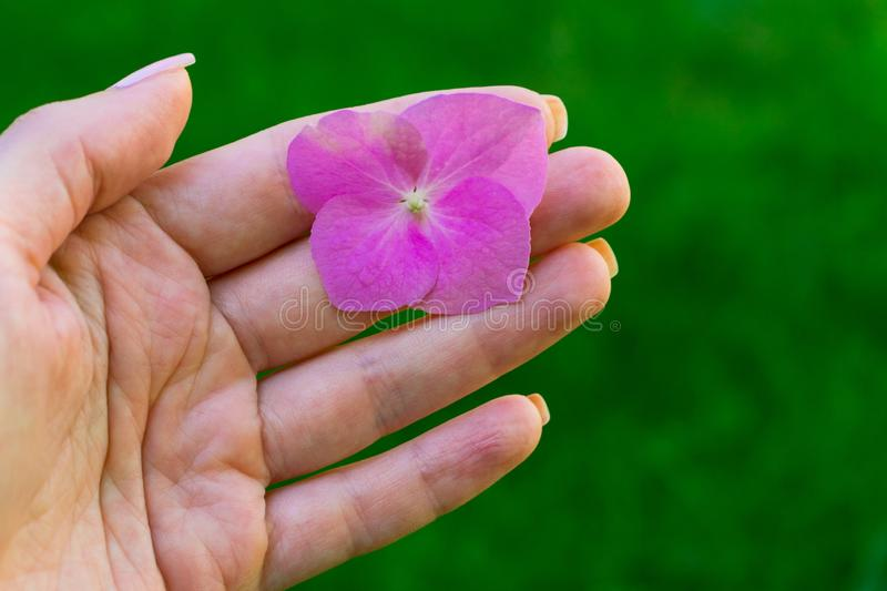 A small flower in the hand of a girl on a background of green grass. A small pink flower in the hand of a girl on a background of green grass stock image