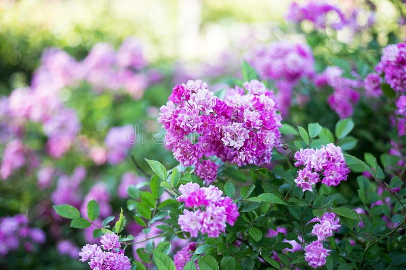 Small pink flowers on bush, place for text royalty free stock photos