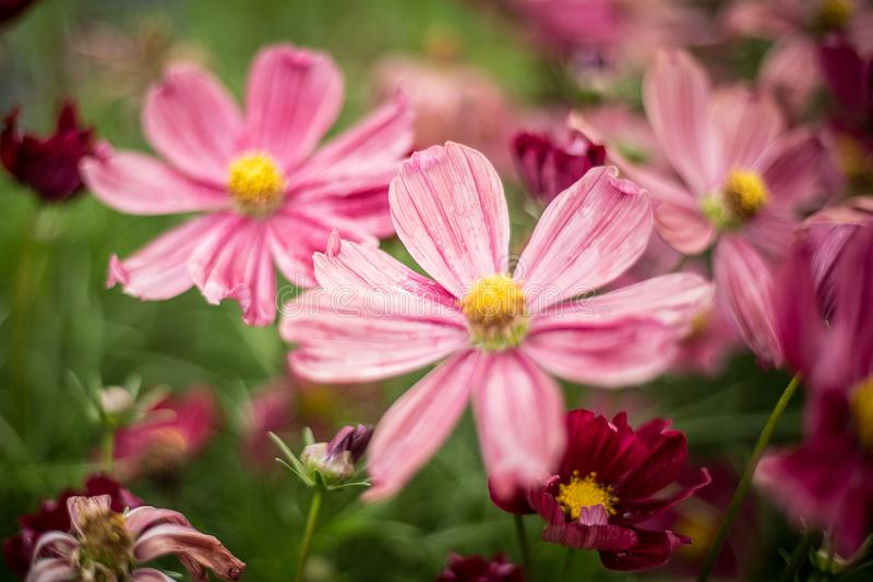 Small pink flowers close-up royalty free stock photo