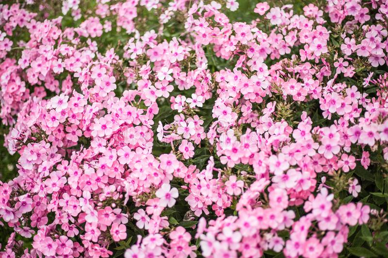 Small pink flowers on flower bed stock image