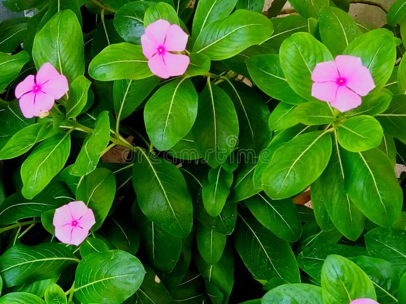 Small pink flowers at my house royalty free stock image